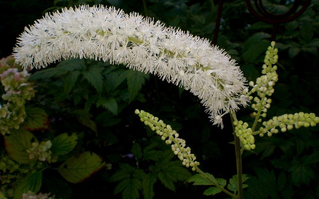 black cohosh flower