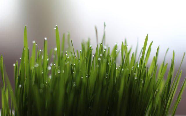 is wheatgrass bad for you